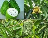 buah sebagai obat herbal