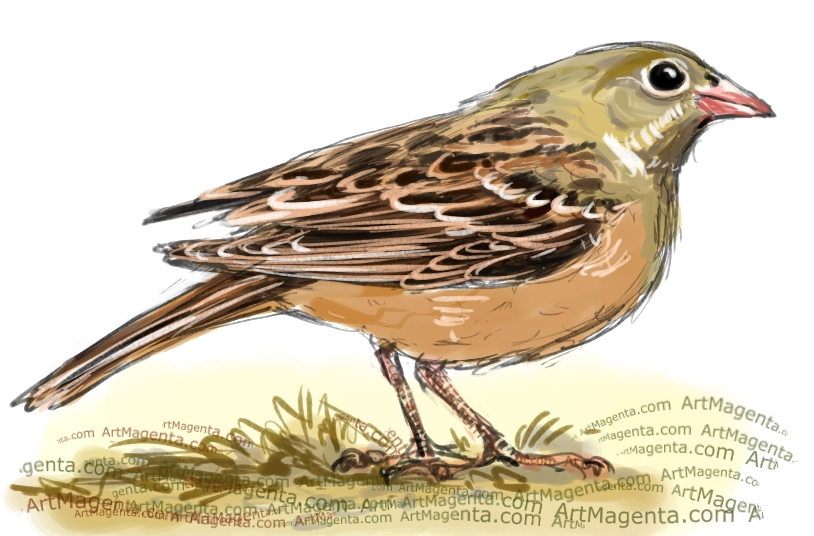 Ortolan Bunting sketch painting. Bird art drawing by illustrator Artmagenta