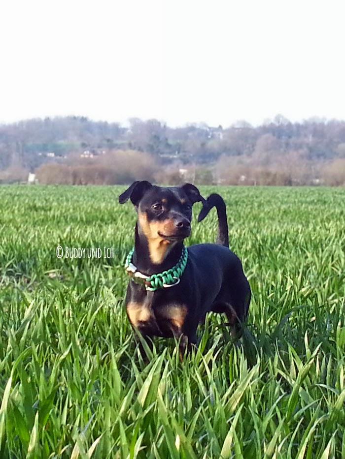 Hundeblog Buddy und Ich; Zwergpinscher Rüde; Nordish for Dogs