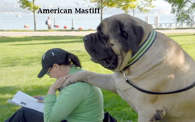 dogs Gallery: Information about American Mastiff dog