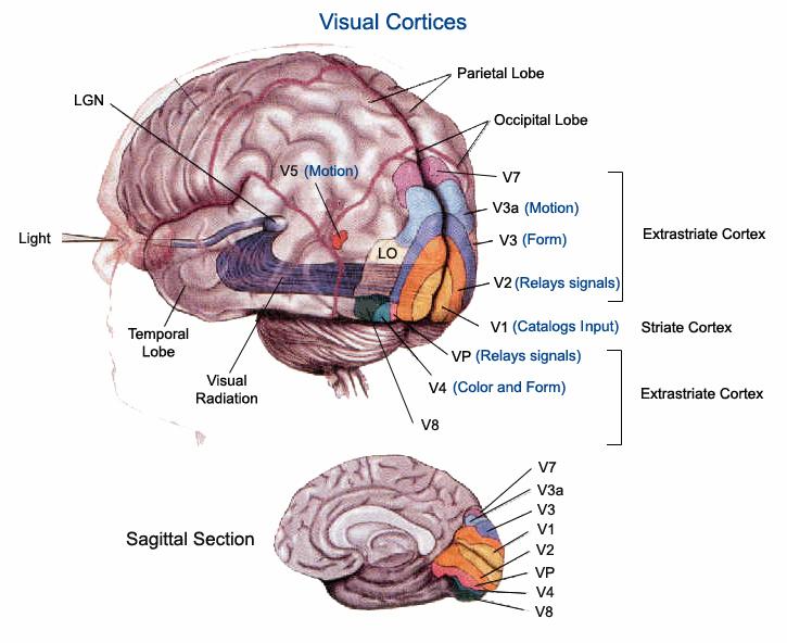 4.V4野 (オリヴァー・サックス『火星の人類学者』より Visuele+cortex