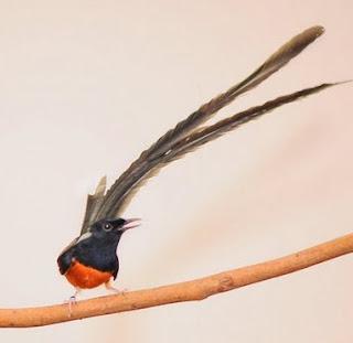 Harga Terbaru Burung Murai Batu Tgl 29 September 2015