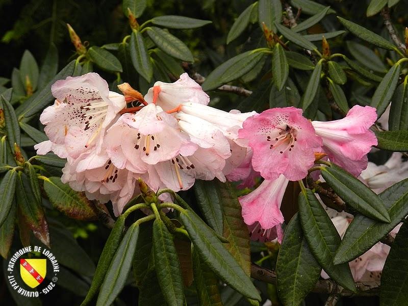 VILLERS-LES-NANCY (54) : Le jardin botanique du Montet-Rhododendron