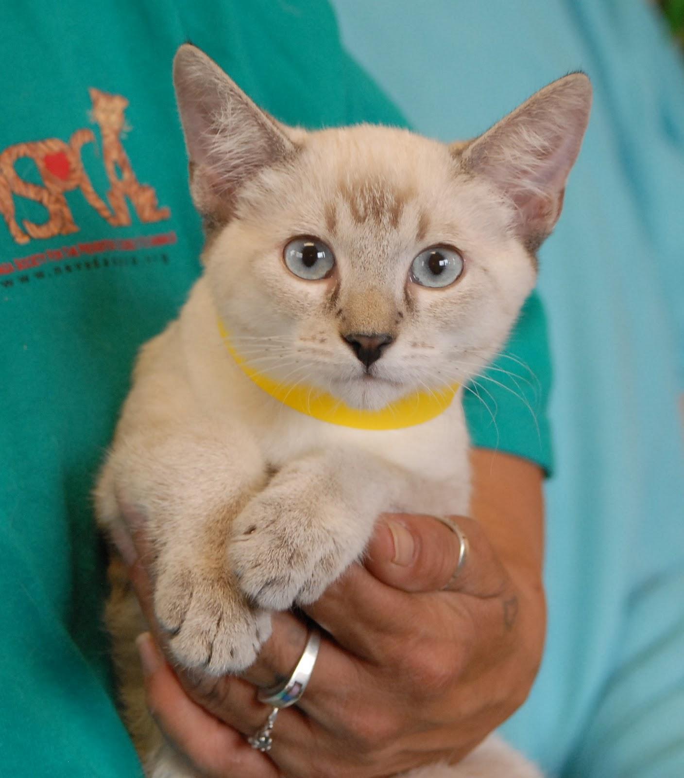 Nevada SPCA Animal Rescue Lynx Point Siamese kittens debuting for