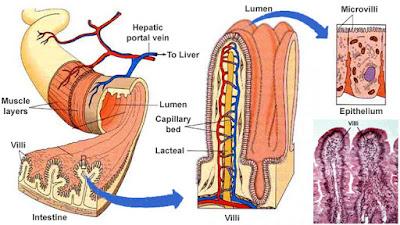 struktur usus halus