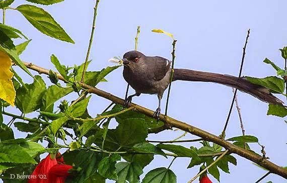 Foto Burung Murai Air Terbaik