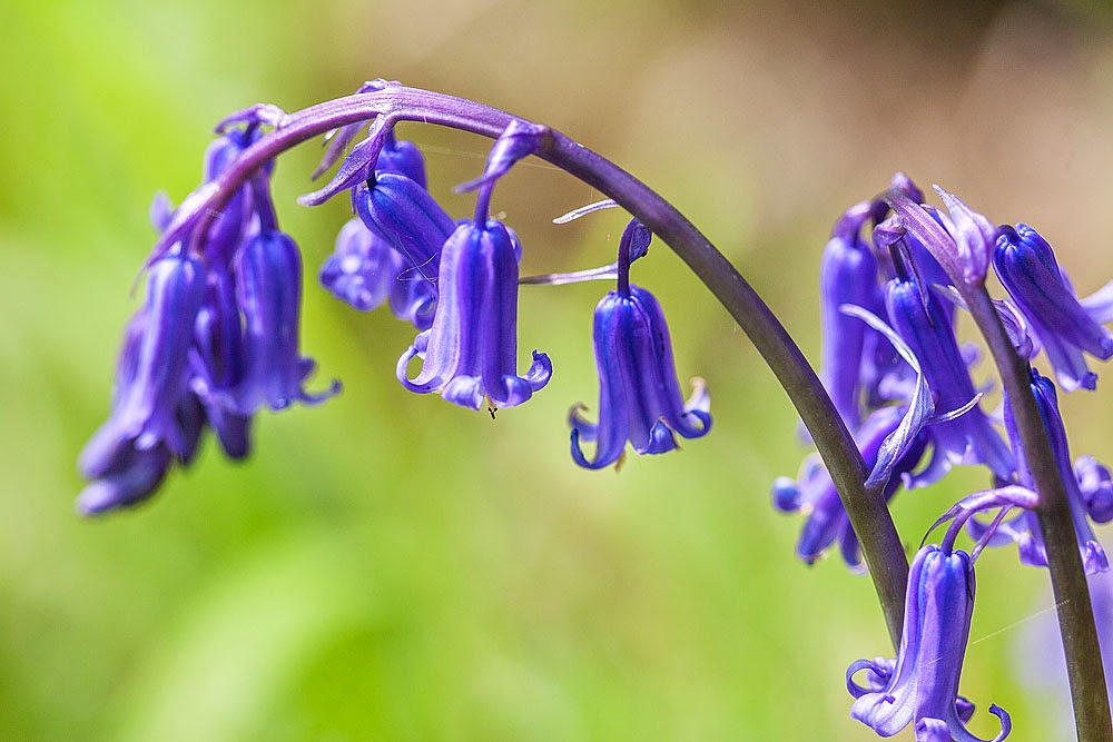 Bluebells - Loughton Valley Park, Milton Keynes