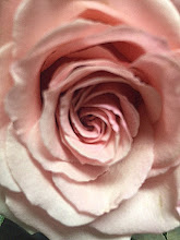 Shell Pink Rose