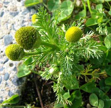 http://2.bp.blogspot.com/-83D6KYn3BkU/T7m2rcp3SxI/AAAAAAAAATc/oxHlc7IG7dY/s1600/Pineappleweed.jpg