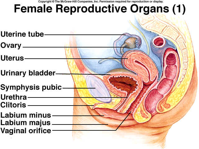 The anatomy of the female reproductive system