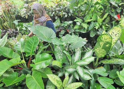 TANAMAN HIAS: Lina mengecek tanaman bunga miliknya yang ia tawarkan ke pembeli di kawasan Stadion Sultan Syarif Abdurahman. Bisnis tanaman hias cukup menjanjikan karena tingkat kerugiannya cukup kecil. HARYADI/PONTIANAKPOST