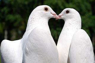 Cinta ku itu seperti Burung Merpati yang Setia