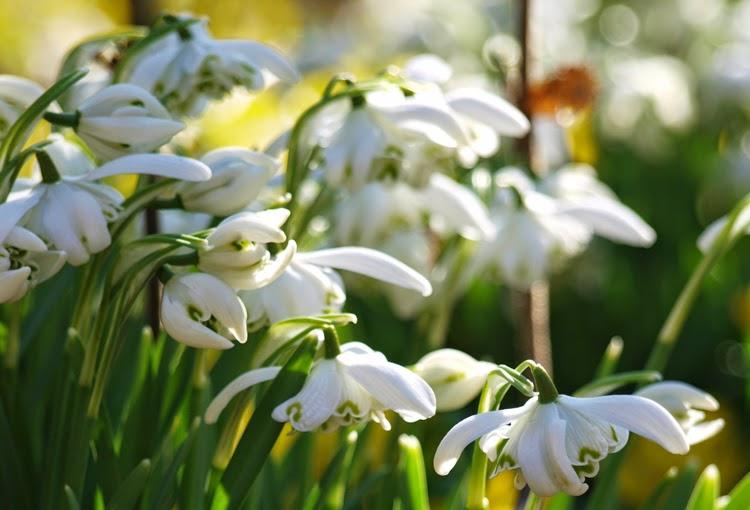 Forår og blomstring i haven med vintergækker