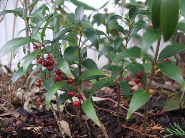 Polygonatum punctatum red berries