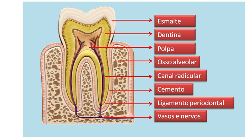 Image result for anatomia do dente