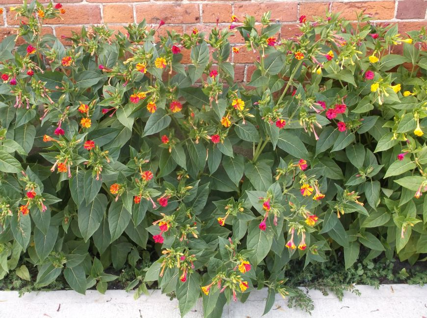 Future Plants By Randy Stewart Four Of Clock Flower