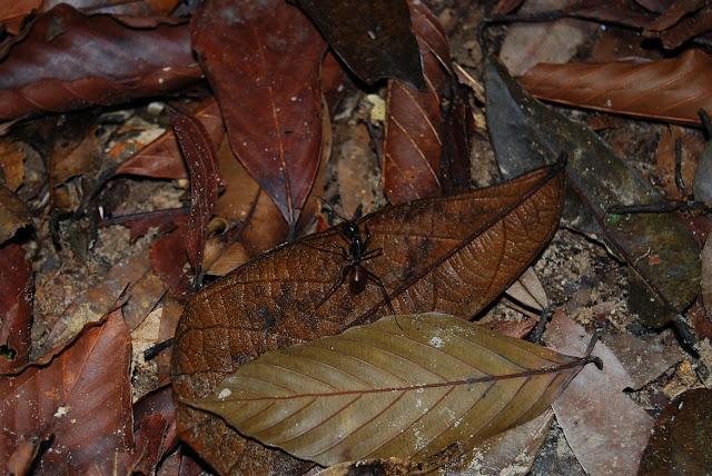Огромные муравей в Национальном парке рядом с пляжем Туп Каек, Таиланд. National Park near Tup Kaek beach, Thailand.