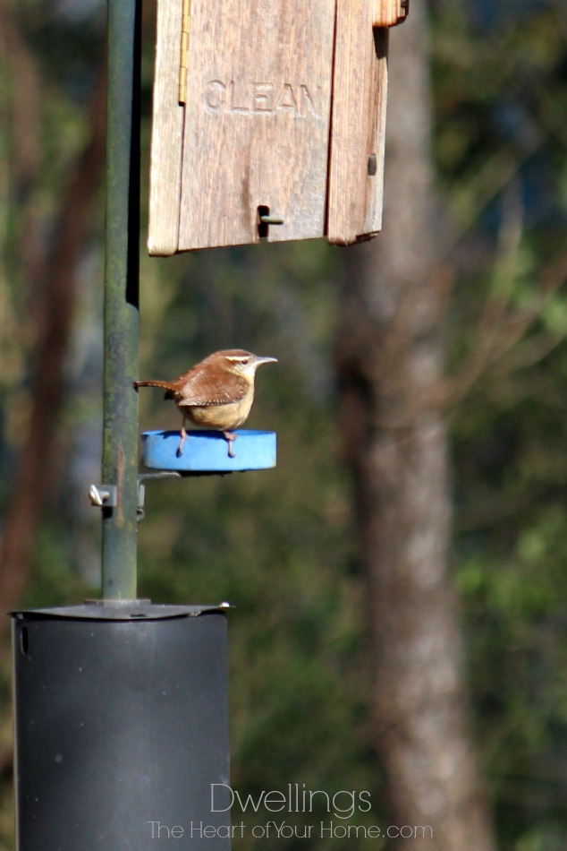 Carolina wren eating