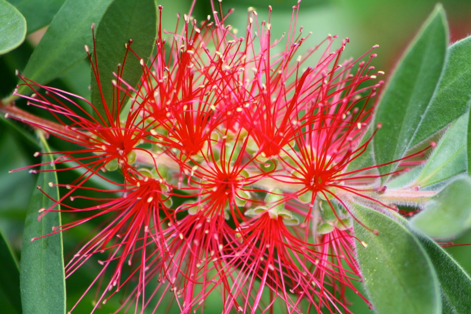 bottlebrush bloom
