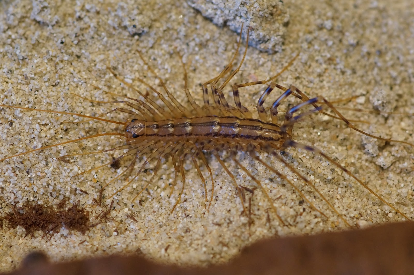 Sink Bugs, Bathtub Bugs, Eyelash Bugs, or House Centipedes? | Nature ...