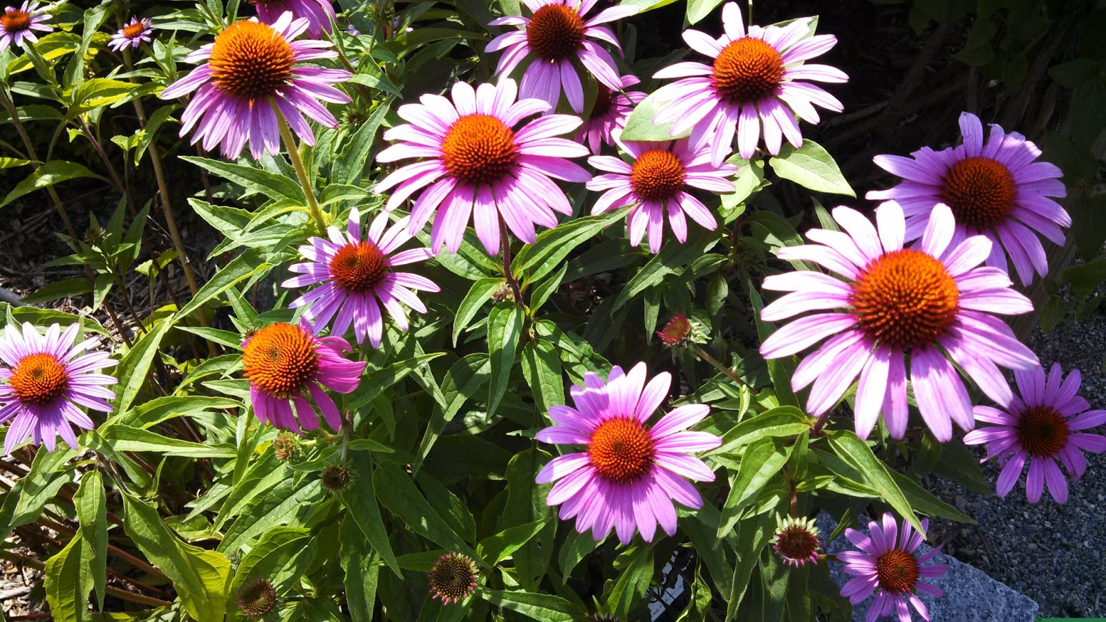 welcome to the pitt county arboretum echinacea coneflowers. Black Bedroom Furniture Sets. Home Design Ideas