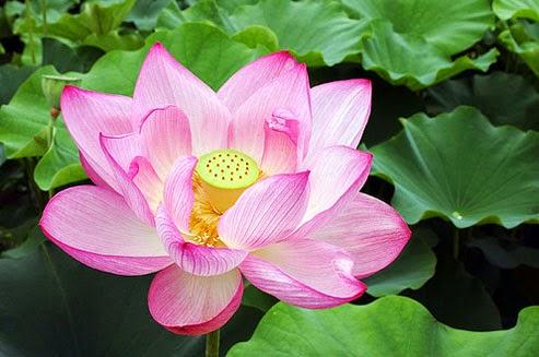 Asal Usul Bunga Teratai