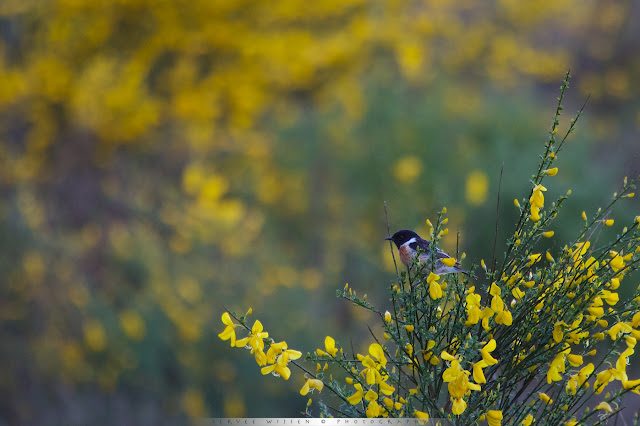 Roodborsttapuit in bloeiende Brem - Stonechat in flowering Broom - Saxicola torquata