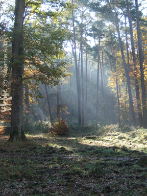 foret-rayons.png