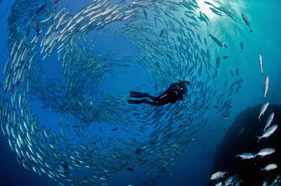 A swarm around a diver_baitball