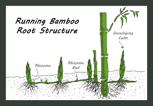 Bamboo Growing2