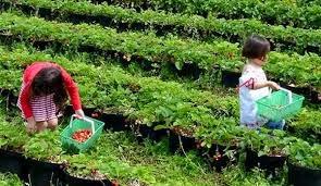"""<img src=""""http://2.bp.blogspot.com/-86RSI_5ClPQ/VIlbiOwbFmI/AAAAAAAAADk/OFWT9cMuwnk/s1600/wisata-bandung-selatan-kebun-strawberry-desa-alam-endah.jpg"""" alt=""""Kebun strawberry desa alam endah""""/>"""