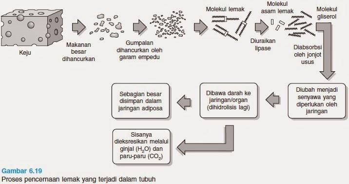 Sistem Pencernaan Pada Manusia Beserta Organ-organ dan Enzim