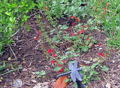Annieinaustin,Salvia roemeriana in my garden