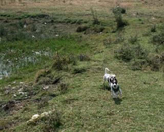 Happily running around the fields