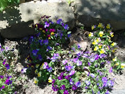 The Little Viola Garden