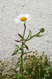 An open flower (daisy-like) of Mexican Fleabane - Erigeron karvinskianus - by a white, stucco wall.