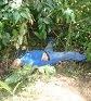 Zé's body in the bushes.