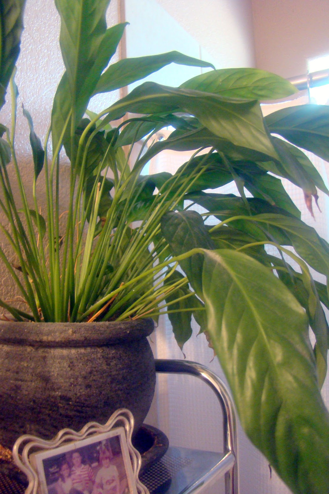 Nourished and Nurtured: The Houseplant That Will Keep All Your Other on pineapple plant house plant, dragon plant, black gold lily plant, zamiifolia house plant, croton house plant, peace lily plant benefits, problems with peace lily plant, artificial bamboo house plant, black bamboo potted plant, peace lily family plant, peace lily potted plant, classic peace lily plant, chinese evergreen house plant, marginata house plant, weeping fig house plant, peace plant brown leaves, holly house plant, white and green leaves house plant, funeral peace lily plant, droopy peace lily plant,