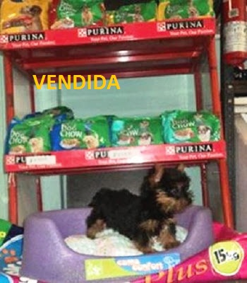 CACHORRITA YORKSHIRE TERRIER $ 1.200.000