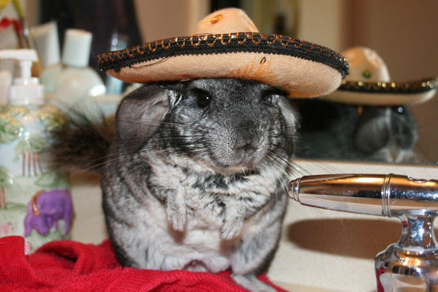 funny animals, mouse wears sombrero