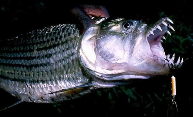 Tiger fish fun animals wiki videos pictures stories for Tiger fish pictures