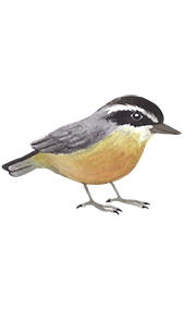 Nuthatch - Jen Haugan Animation & Illustration