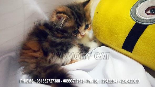 Hamster Dan Kucing Persia Murah Surabaya 10 01 2013 11