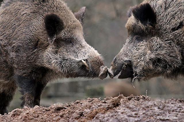 Tiere, Tierfotos, Säugetiere, Wildschwein