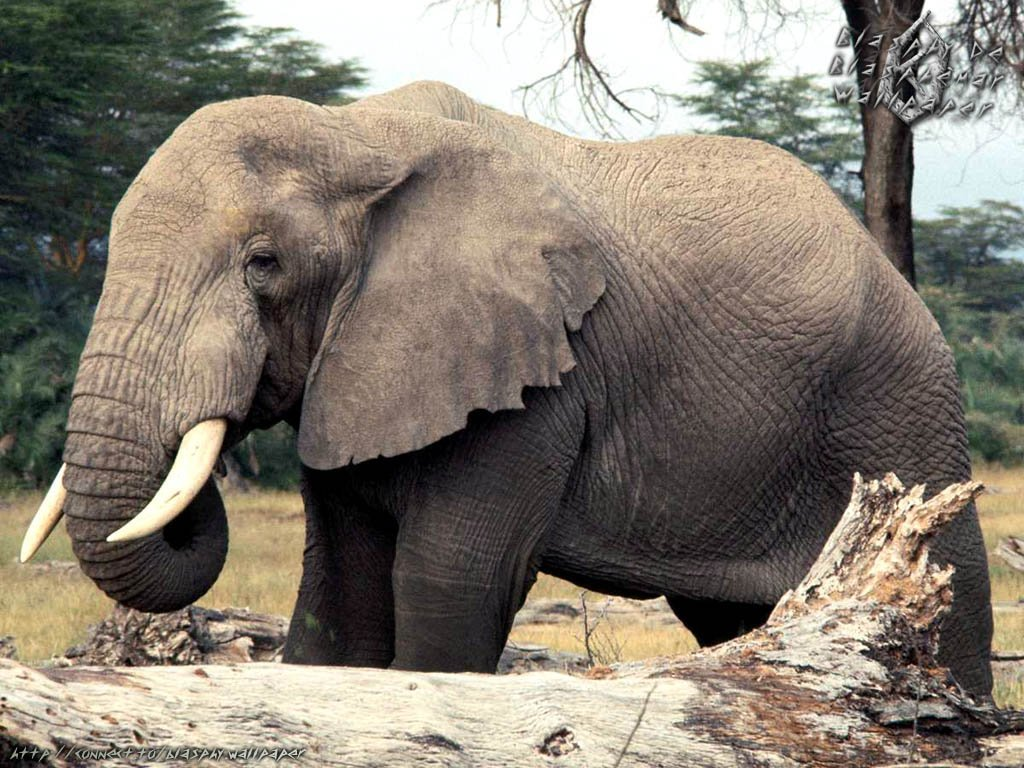 one old elephant related myth is that elephants are afraid