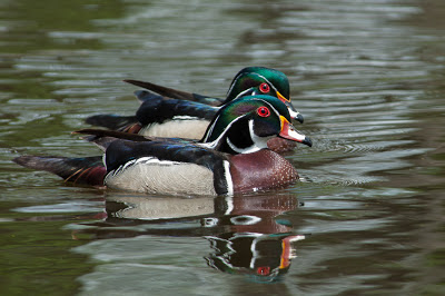 Wood ducks at Sterne Park