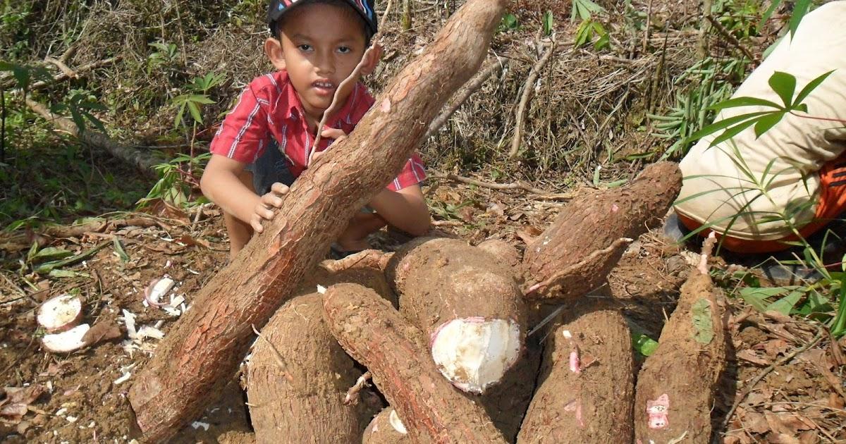 Singkong (Cassava) Manfaat dan Peluang Dalam Program ...