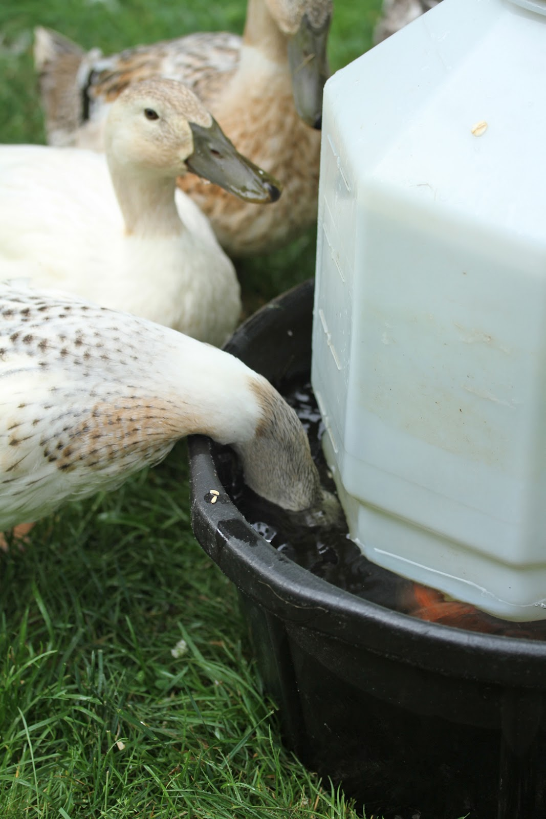 makin u0027 it with frankie watering solution for ducks