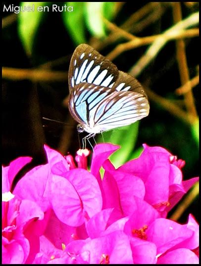 Pareronia-Valeria-mariposa-Tailandia