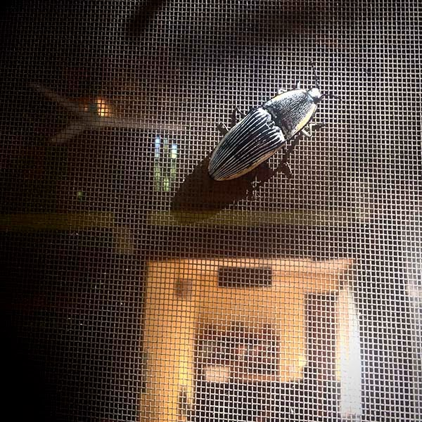 Un insecto posado en el mosquitero del restaurante del Hotel Puerta Calakmul. Los mosquiteros protegen de los insectos sin la necesidad de usar fuertes venenos.